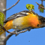 Baltimore-Oriole--Wdr--MG_0446