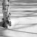 Birch-Tree-in-snow-Bathurst-NB--Wdr-1427-MG_1147