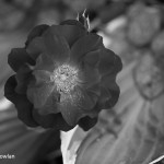 Black-Rose_Wdr-1262-BW-MG_0353