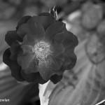 Black-Rose_Wdr-1262-BW-MG_0353