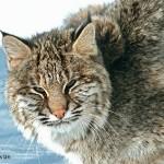 Bobcat-NB---ANI-P-dr