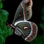 Cecropia-Moth-Ldr---AB00117