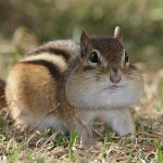 Chipmunk---all-tanked-up--Wdr-1446_38R0899