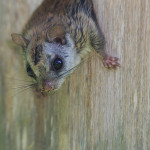 Flying-Squirrel-peering-out-of-his-nest---Wdr-1459-38R0657