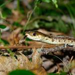 Garder-Snake--NS---ANI-08---584----14320