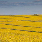 Grand-Falls-NB---Canola-Fields-No-1-Wdr--1168---22-x-5-in-actual-size