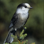 Gray-Jay---Ldr--AT04205
