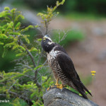 Hopewell-Cape-NB---Peregrine-Falcon--head-at-180-dgr-Wdr-1461-38R0869