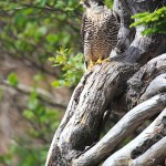 Hopewell-Cape-NB---Peregrine-Falcon-in-a-tree---Wdr-1458-38R4534