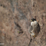 Hopewell-Cape-NB---Peregrine-Falcon-on-cliff---Wdr-1457-38R4325