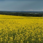 Jacksonville-NB---Canola-fields-Pano-No-2--Wdr-1411