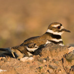 Killdeer-and-chick---NB--681-1-8185