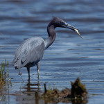 Little-Blue-Heron---NB---ANI-03----663---16272