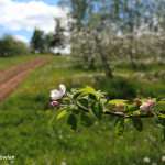 Memramcook-NB---Apple-Blossom-Wdr-1250_MG_9414