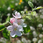 Memramcook-NB---Apple-Blossom-Wdr-1250_MG_9419
