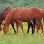 Memramcook NB - Horses in field-Wdr-1260_MG_9810