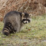Memramcook-NB---Racoon-_MG_7773