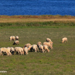 Murray River N B - Lamas-and-Sheeps---N-B--Wdr-1337_MG_9835