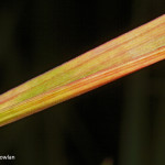 Oblique-reed----_MG_2800