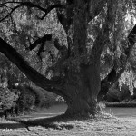 Old-Willow-tree- Wdr_MG_3101