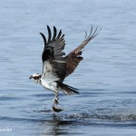 Osprey-with-fish-NB-729-2945