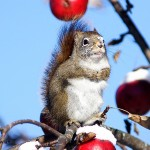 Red-Squirrel-ANI-07---512---1---12459