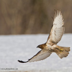 Redtail-Hawk-NS_0686