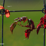 Shediac-NB---Leaves -in-wire-fence-Wdr-1203_MG_9087