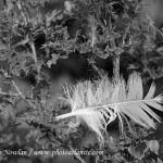Thissle-and-feather_Wdr--MG_8743-copy