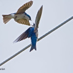 Tree-Swallows---NB---825-8243