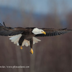 Wildlife---Birds---Bald-Eagle-in-full-flight_MG_2509-copy