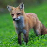 Wildlife---Mammals----Red-Fox--_38R8289-copy